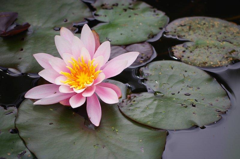 Lilien - Lieblingsblumen von Venus