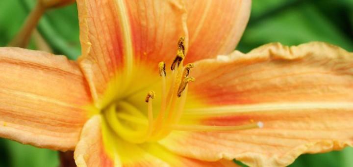 Lilien - perfekte Blumen für den Garten